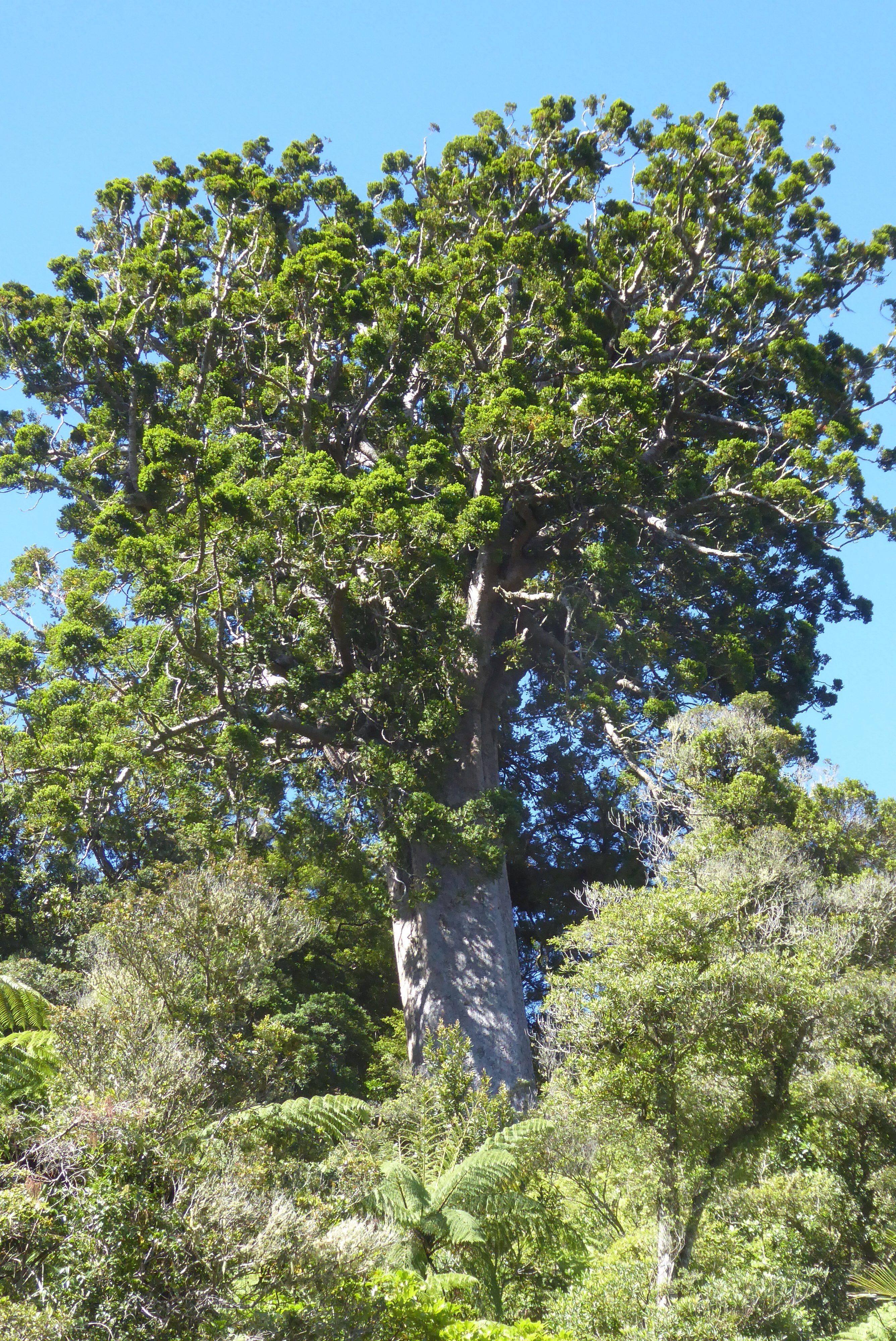 Kauri qui domine la forêt